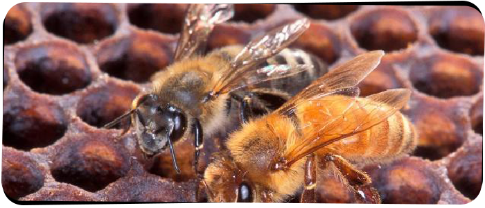 Bees Control Melbourne